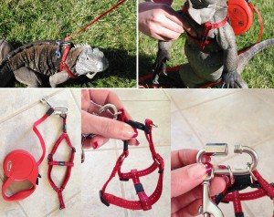 Cyclura leash and harness