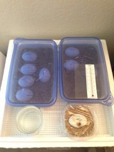 Yasha's eggs inside the incubator 46 days