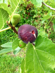 Figs on the tree