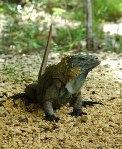 Wild Blue Iguana is exhibiting tail curling