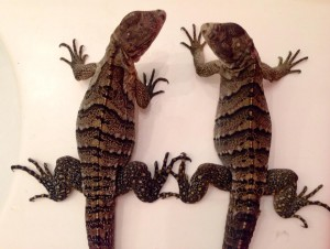 Baby Gamma (left) and Baby Alpha (right) 5 months old and weigh 134 grams.