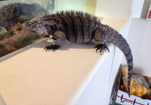 Yasha puffing and showing off her size. Spring 2013.