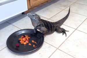 Bella Blue, female rock iguana eating her Birthday fruit Oct 2013