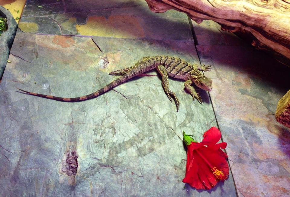 Rock Iguana Juvenile Care Sheet Reptile Function