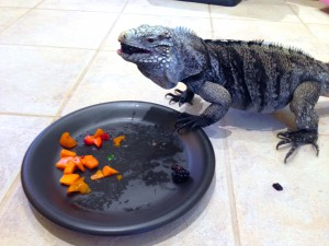 Xena, female rock iguana eating her fruit salad Oct-2013