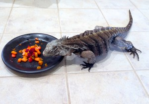Yasha, female rock iguana eating Birthday fruit salad Oct-2013