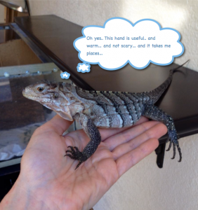 Juvenile Rock iguana baby Gamma learning to trust my hand. Success :-)