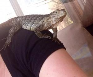 Juvenile 6 months old rock iguana baby Gamma sitting on Renata