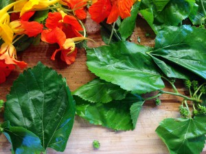 Nasturtiums and Mulberry leaves