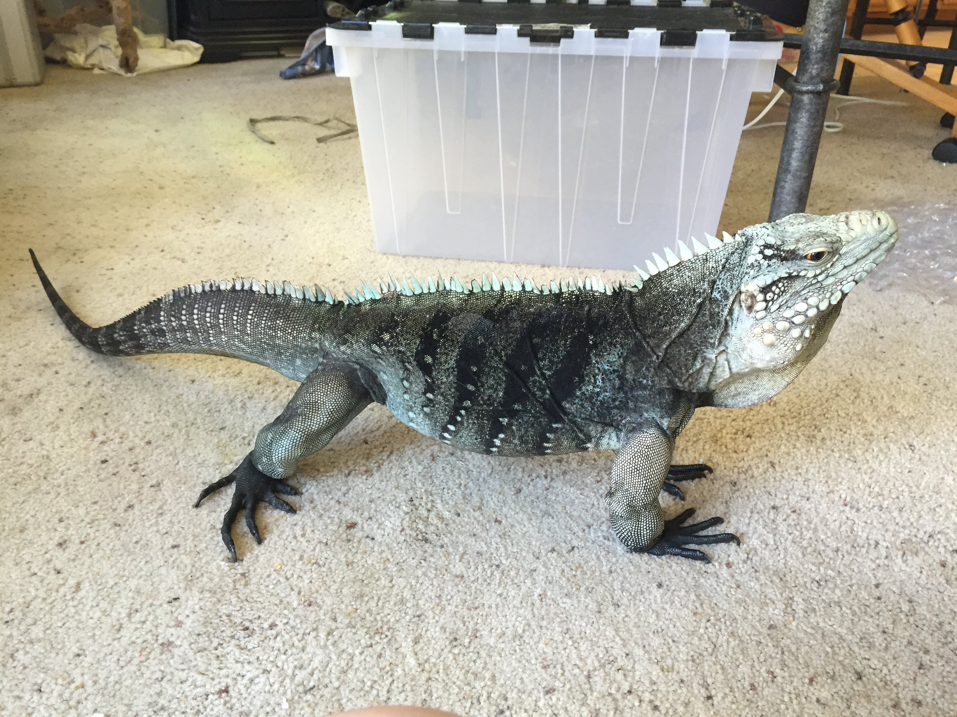 Casanova Our Male Rock Iguana