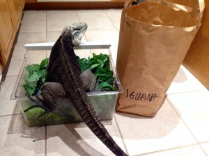 "Iguana greens and Casanova, our male rock iguana ""helping"" me sort the greens from local organic farm delivery."