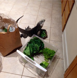 Our adult male iguana Casanova loves to hang out in the kitchen when I unpack and sort the greens. He also gets treats.