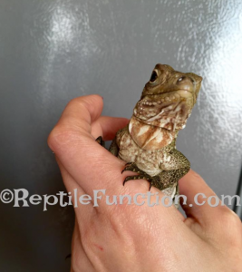 Baby Tau showing his red dewlap patterns
