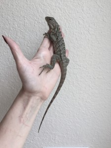 Baby rock iguana Rio is one week old