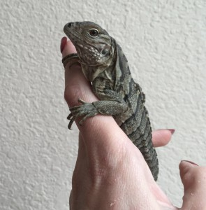 Baby rock iguana Piti is one week old