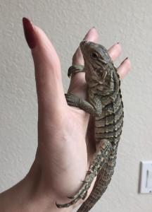 Rock iguana Nadi is one week old