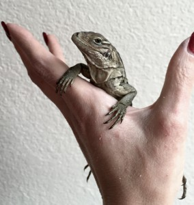 Baby rock iguana Nadi is one week old.